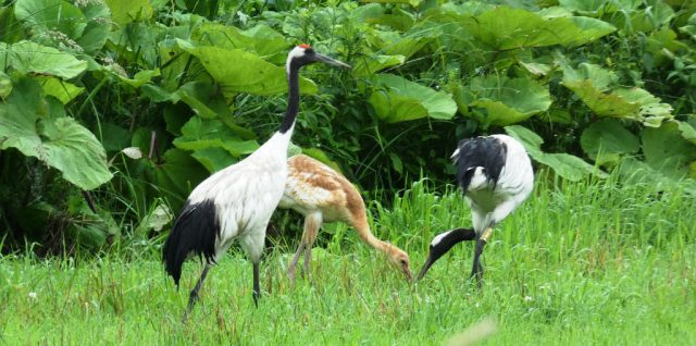 2019.8 red-crowned cranes news
